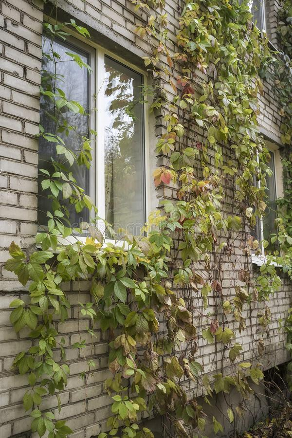 Girlish виноградин Parthenocissus quinquefolia decorat красиво стоковые изображения rf