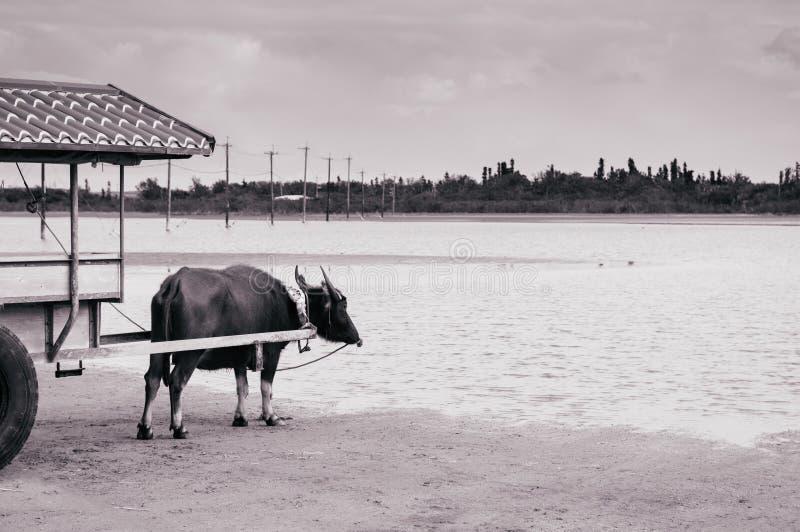 Giro del carretto di Baffalo sulla spiaggia a Iriomote, Okinawa, Giappone immagine stock