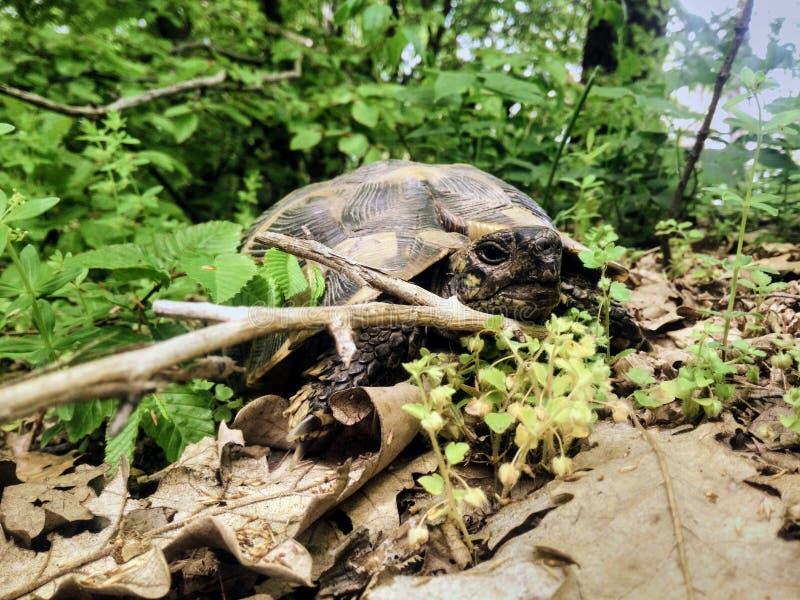 Giro della primavera di suspense della tartaruga fotografie stock