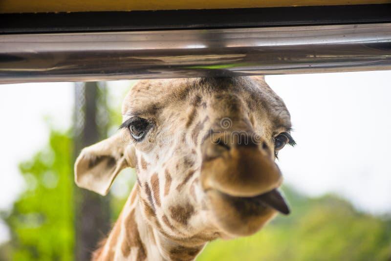 Girrafe colle sa langue tout en étant alimenté, dans Everland, Kore images stock