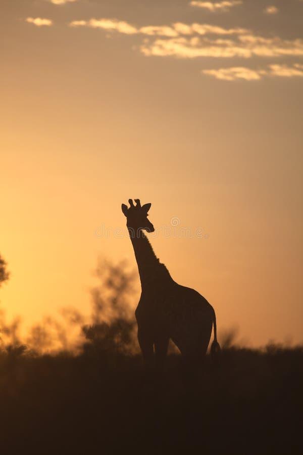 Girraffe silhouetted mot soluppgånghimmel fotografering för bildbyråer