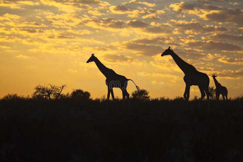 Download Giraffes Silhouetted Against Sunrise Sky Stock Image - Image: 36698501