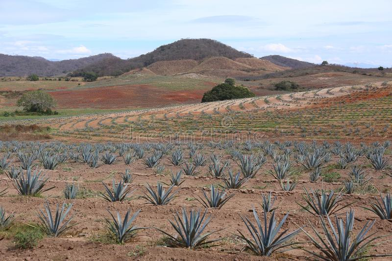 Gisement d'agave pour la production de tequila, Jalisco, Mexique photos libres de droits