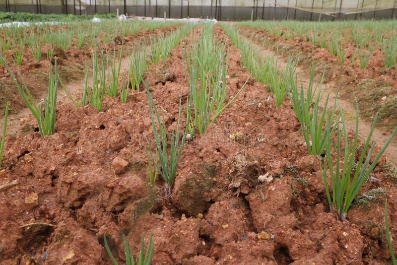 Gisement d'oignon vert, rangées d'oignon à la ferme photos stock