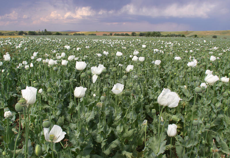 Gisement d'opium photographie stock