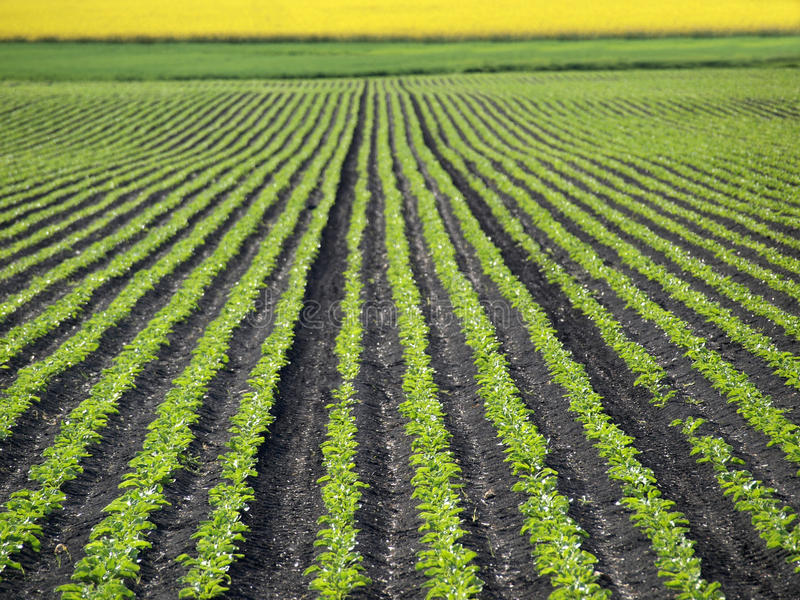 Gisement de betterave à sucre image libre de droits