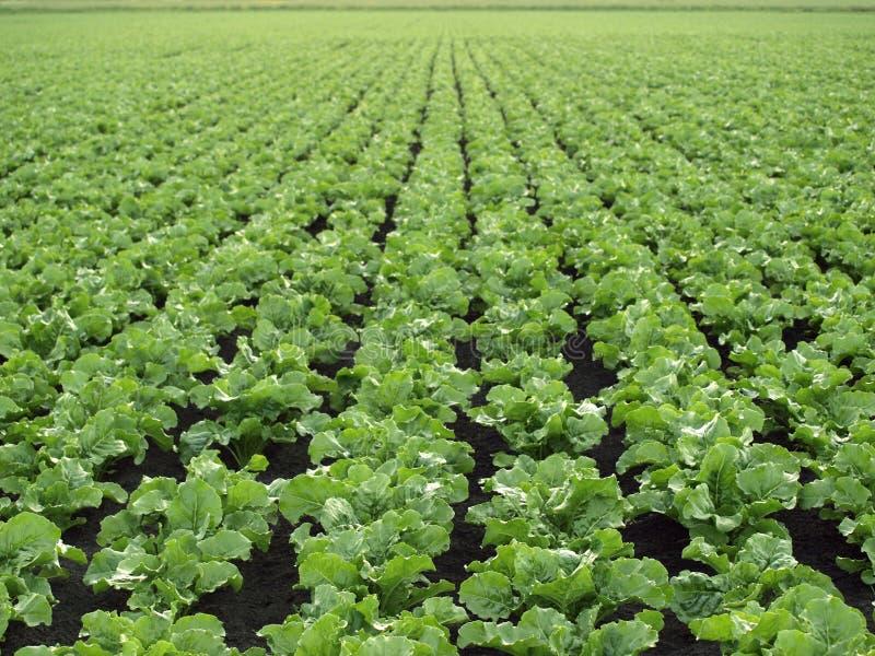 Gisement de betterave à sucre photographie stock libre de droits
