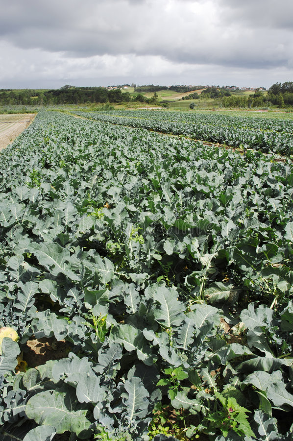 Gisement De Broccoli Photo stock