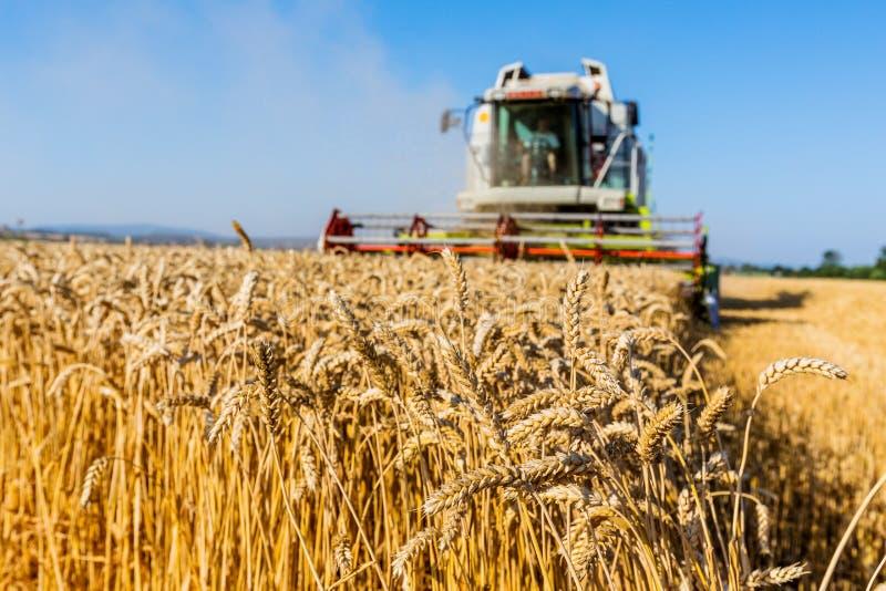 Gisement de céréale de blé à la récolte photographie stock