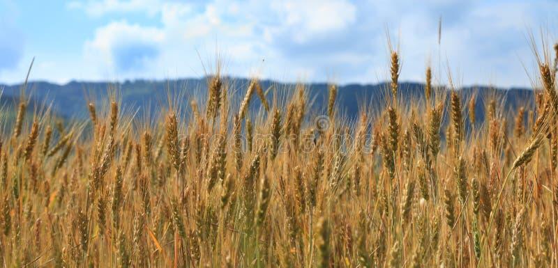 Gisement de céréales photo libre de droits