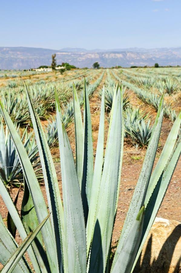 gisement de cactus d 39 agave au mexique photo stock image du production plantation 13481442. Black Bedroom Furniture Sets. Home Design Ideas