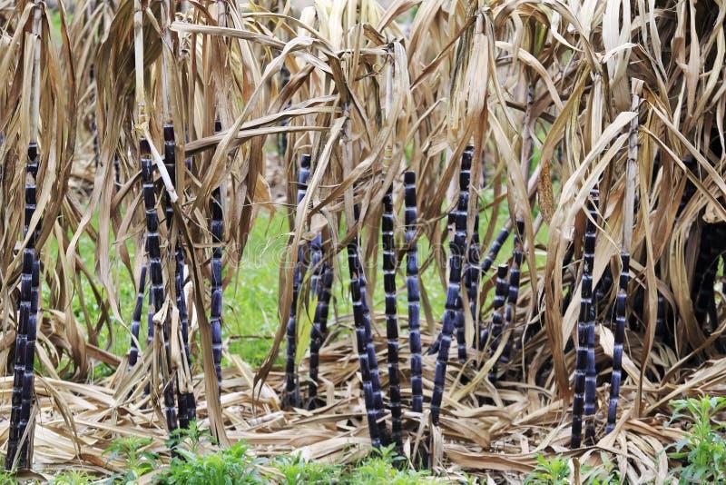 Gisement de canne à sucre photo libre de droits