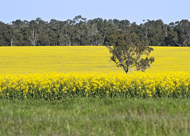 Gisement de Canola en Australie occidentale du sud photos stock