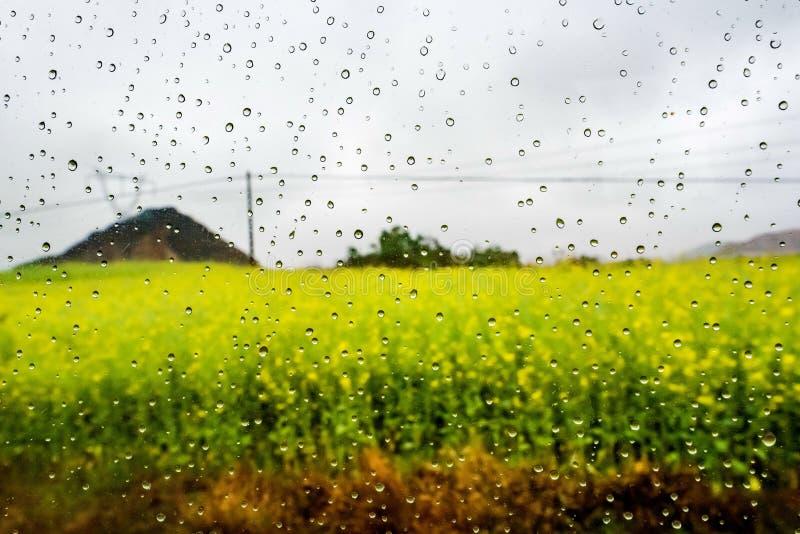 Download Gisement De Canola, Gisement De Fleur De Graine De Colza Avec La Baisse De Pluie Photo stock - Image du zone, fleur: 87703054