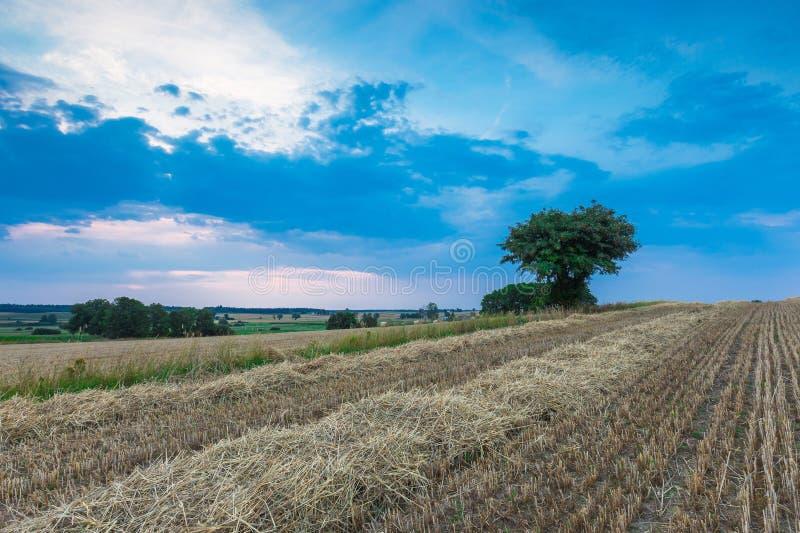 Gisement de chaume avec l'arbre simple photographie stock libre de droits