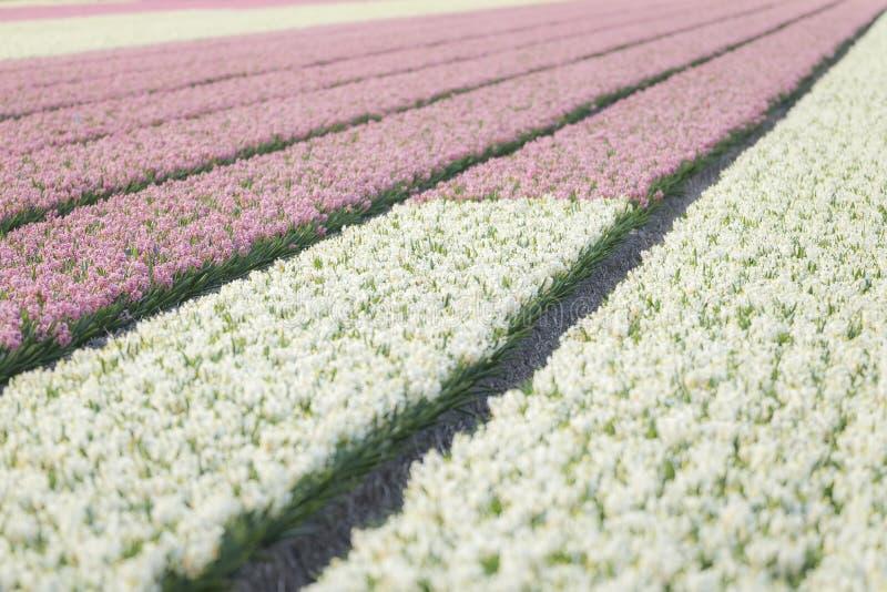 Gisement de fleur blanc rose néerlandais de jacinthe photos libres de droits