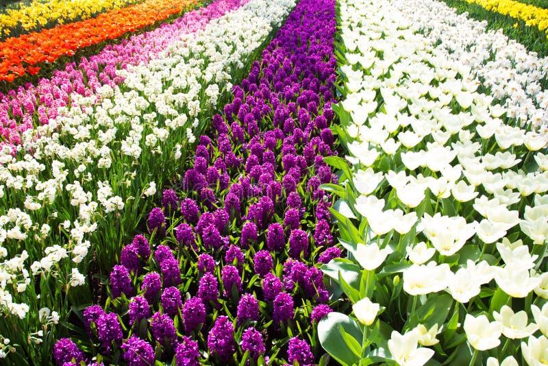 Gisement de fleur coloré de tulipe Fleurs lumineuses multicolores de tulipes images libres de droits