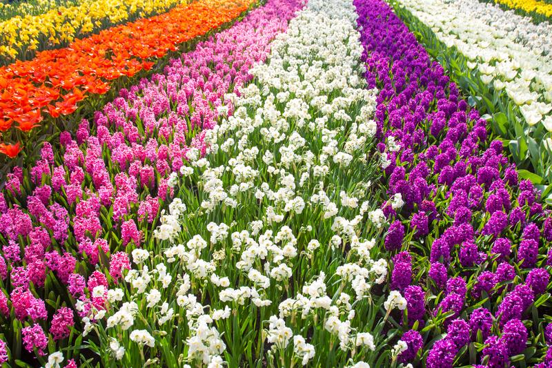 Gisement de fleur coloré de tulipe Fleurs lumineuses multicolores de tulipes image stock
