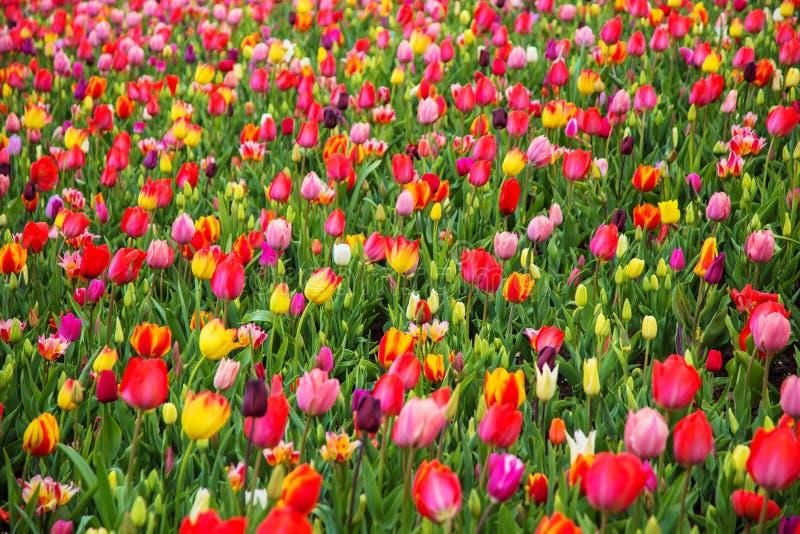 Gisement de fleur coloré de tulipe Fleurs multicolores de tulipes photographie stock libre de droits