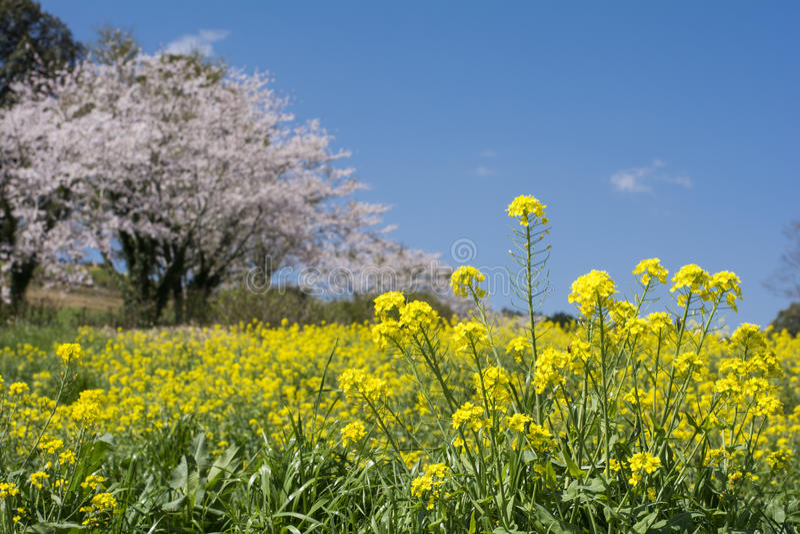 Gisement de fleur de Cole photos libres de droits