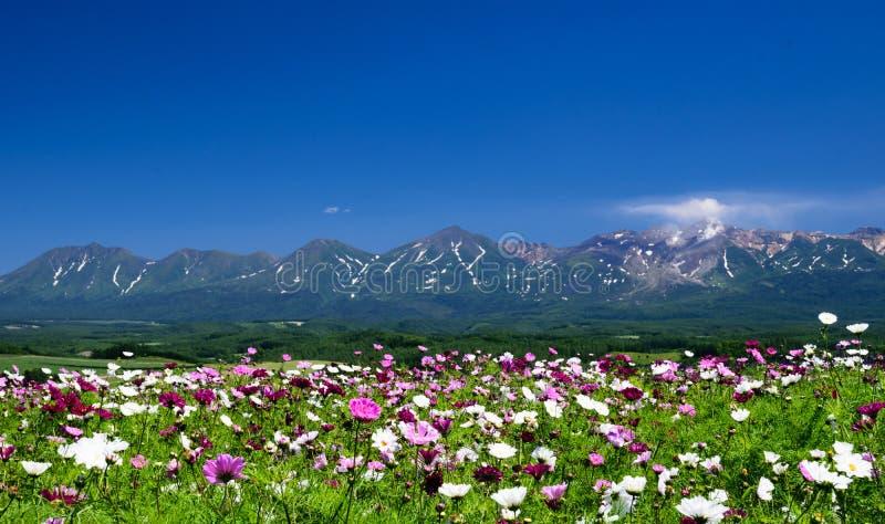Gisement de fleur de cosmos en été avec le fond de montagne photographie stock