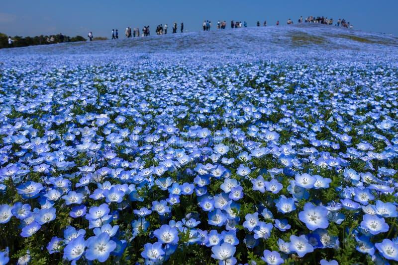 Gisement de fleur de Nemophila en pleine floraison, Japon photographie stock
