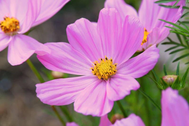 Gisement de fleur de rose de Flowerfield de sonate de cosmos images libres de droits