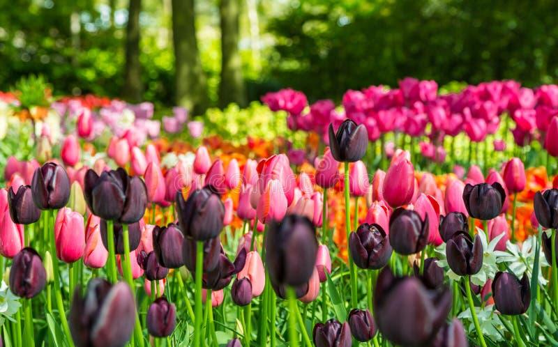 Gisement de fleur des tulipes colorées dans le Keukenhof image stock