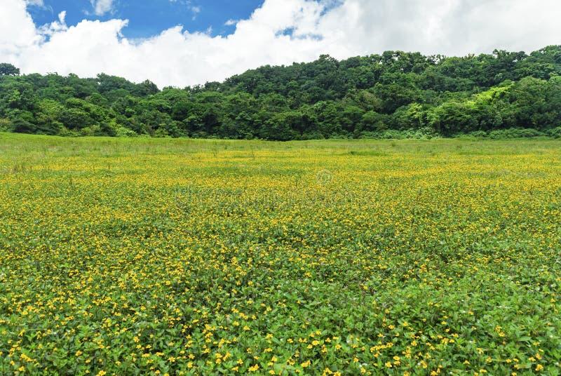 Gisement de fleur jaune image stock