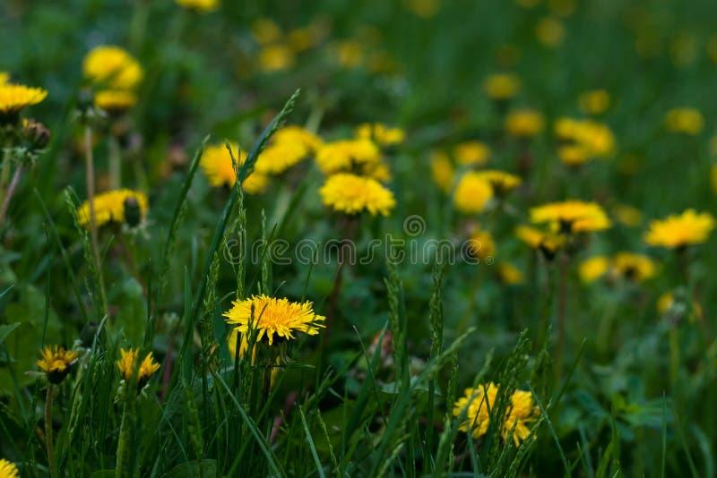 Gisement de fleur jaune des pissenlits Sc?ne de nature de ressort Fond floral de source Champ d'herbe verte Fond de fleur Y color images libres de droits