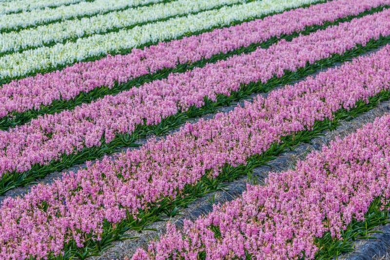 Gisement de fleur néerlandais de jacinthe de ressort coloré lumineux aux Pays-Bas image libre de droits