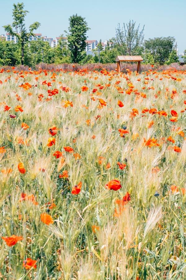 Gisement de fleur de pavot au parc de lac Sangdong dans Bucheon, Corée photo stock