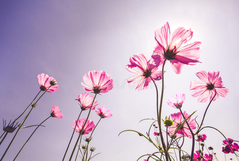 Gisement de fleur rose de cosmos en automne images stock
