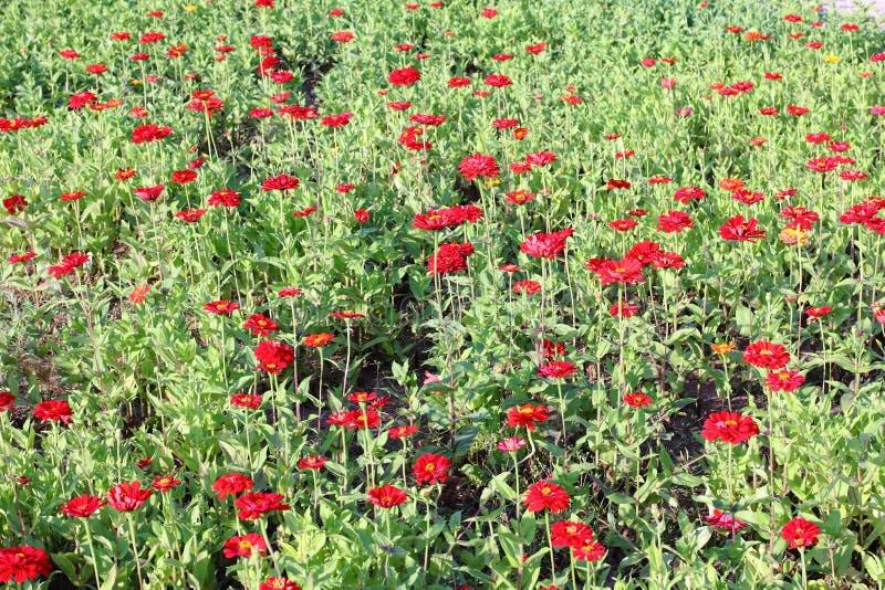Download Gisement de fleur rouge photo stock. Image du chrysanthemums - 45366810
