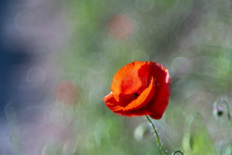 Gisement de fleur rouge d'usine de nature de bokeh de bulle de pavot image stock