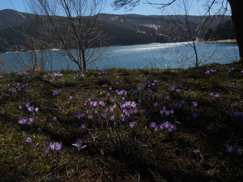 Gisement de fleur violet sur la côte de lac photo libre de droits