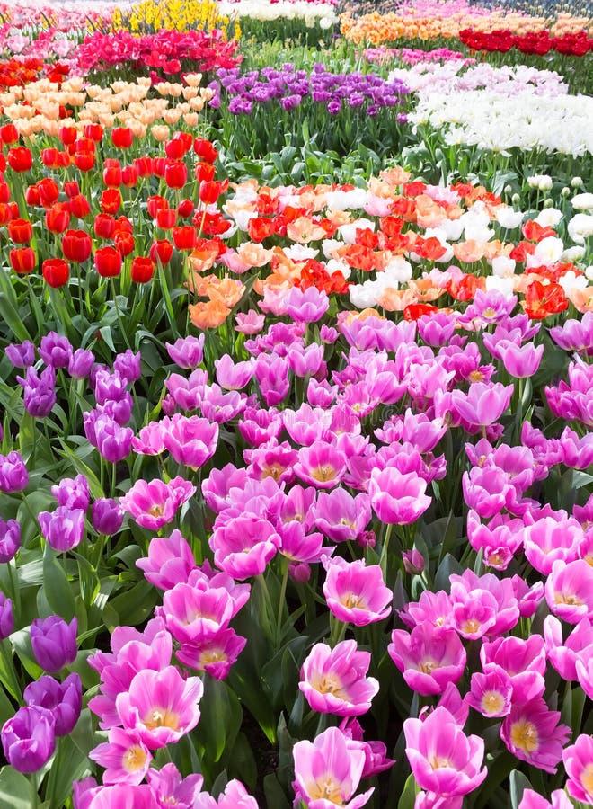 Gisement de fleurs avec différentes tulipes colorées photo stock