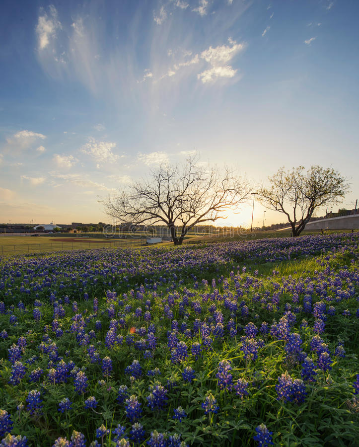 Gisement de fleurs de Bluebonnet à Irving, le Texas photo libre de droits