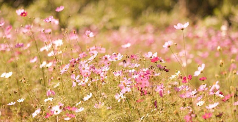 Download Gisement De Fleurs De Cosmos Photo stock - Image du pré, rose: 87709066