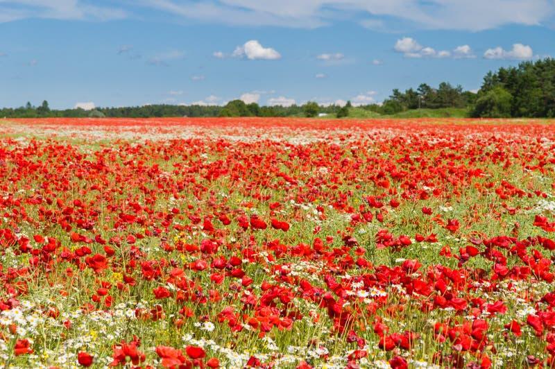Gisement de fleurs de pavot sous le ciel bleu image stock