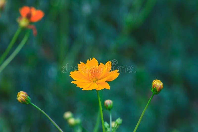 Download Gisement De Fleurs De Souci Photo stock - Image du tête, extérieur: 56489530