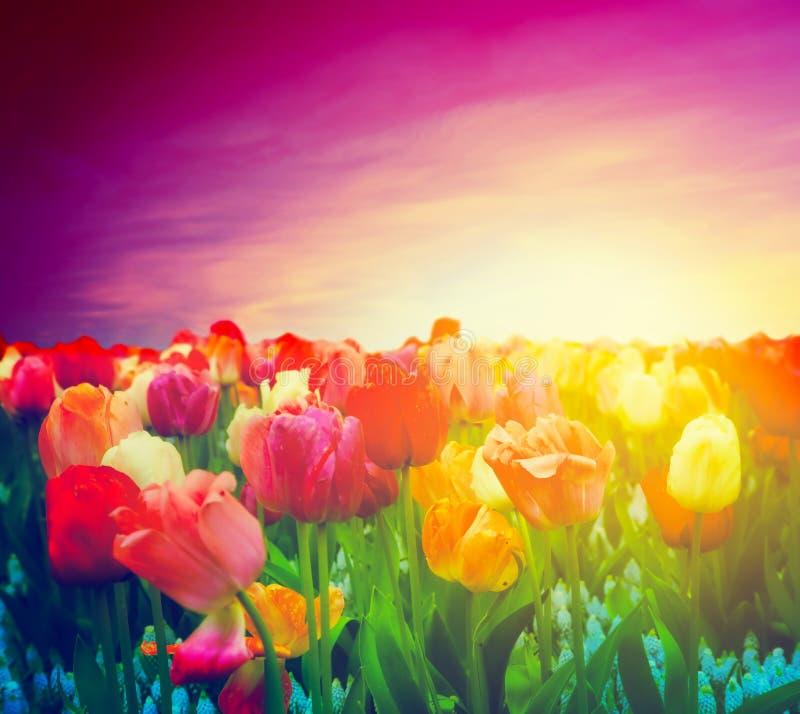 Gisement de fleurs de tulipe, ciel de coucher du soleil. Humeur artistique photographie stock libre de droits
