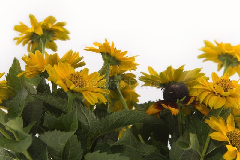 Gisement de fleurs jaune d'été image stock
