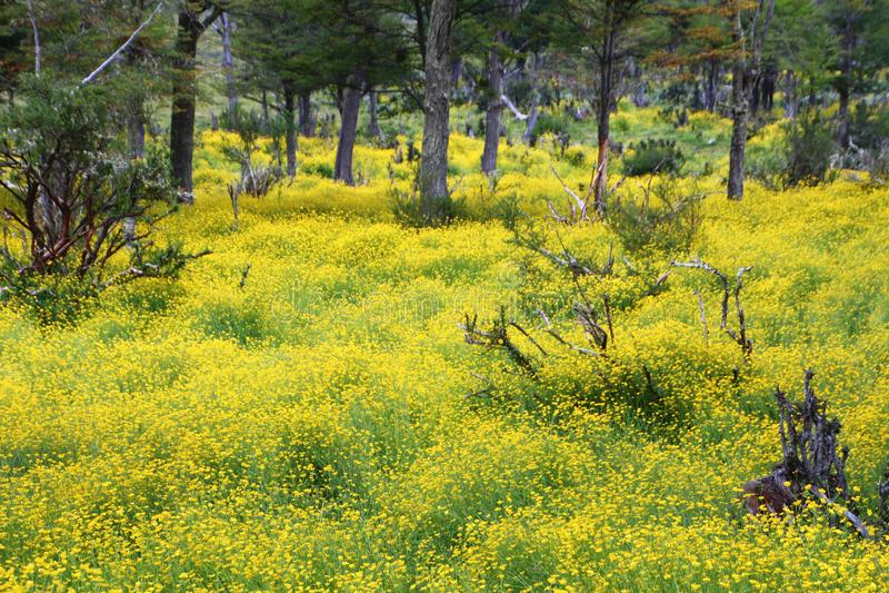 Gisement de fleurs jaune de Terra del Fuego dans la forêt images stock