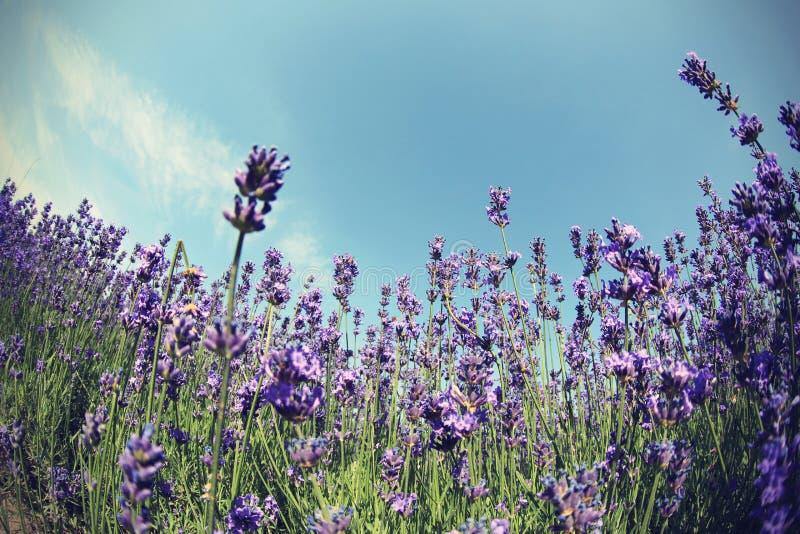 Gisement de fleurs parfumé de lavande sous le ciel bleu photos stock