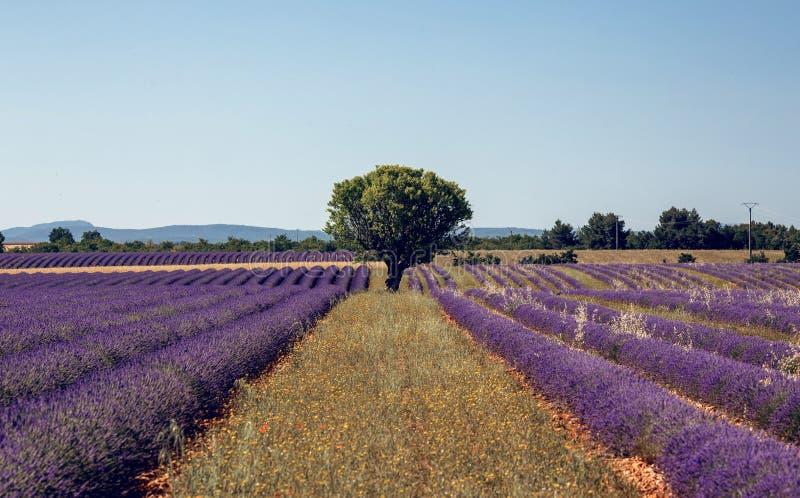 Gisement de floraison de fleurs de lavande photographie stock libre de droits