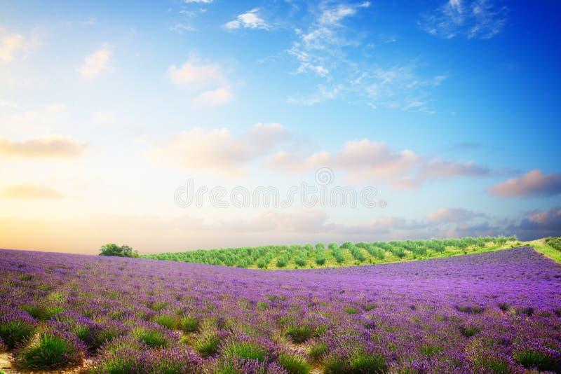 Download Gisement De Floraison De Lavande Photo stock - Image du nuages, centrale: 76082020