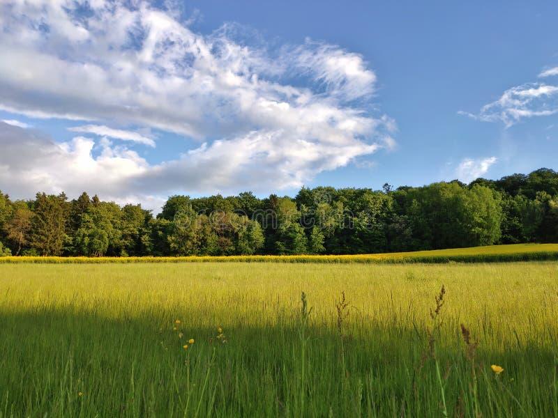 gisement de graine de colza avec des arbres en dos et quelques nuages sur le ciel bleu image libre de droits