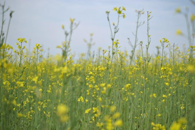 Gisement de graine de colza contre le ciel bleu image libre de droits