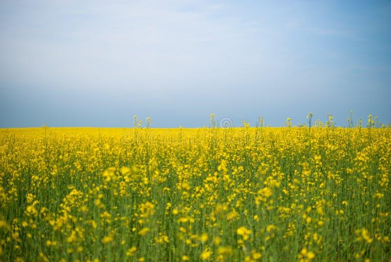 Gisement de graine de colza contre le gisement de fleur énorme de ciel bleu photo libre de droits